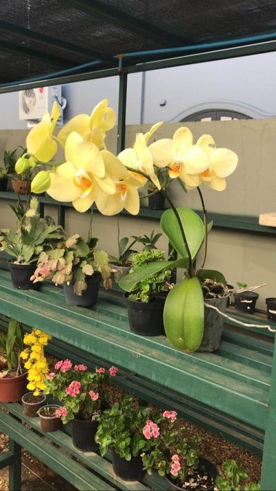 orquídea-amarela-no-vaso